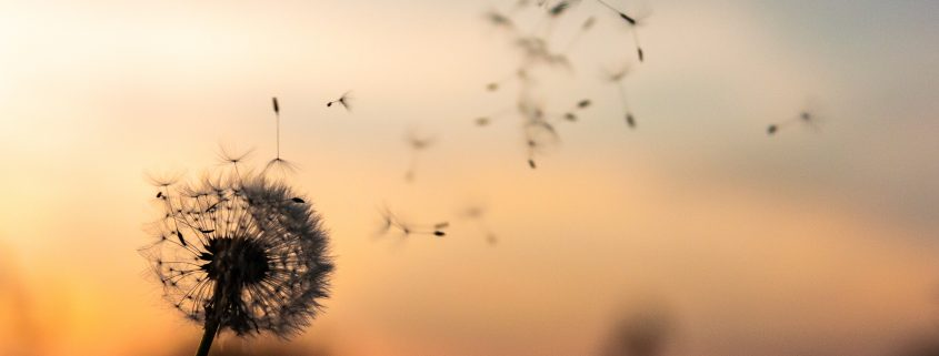 Dandelion blowing in wind