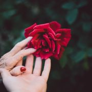 old and young hand touching a rose