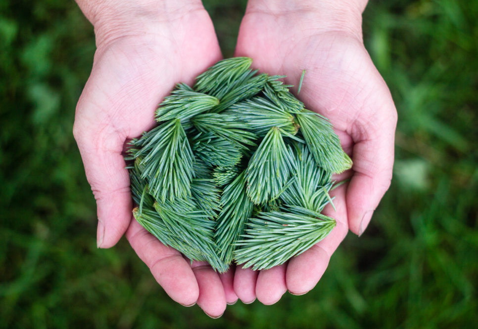 hands holding evergreen fir