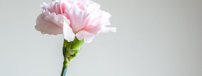 single pink carnation